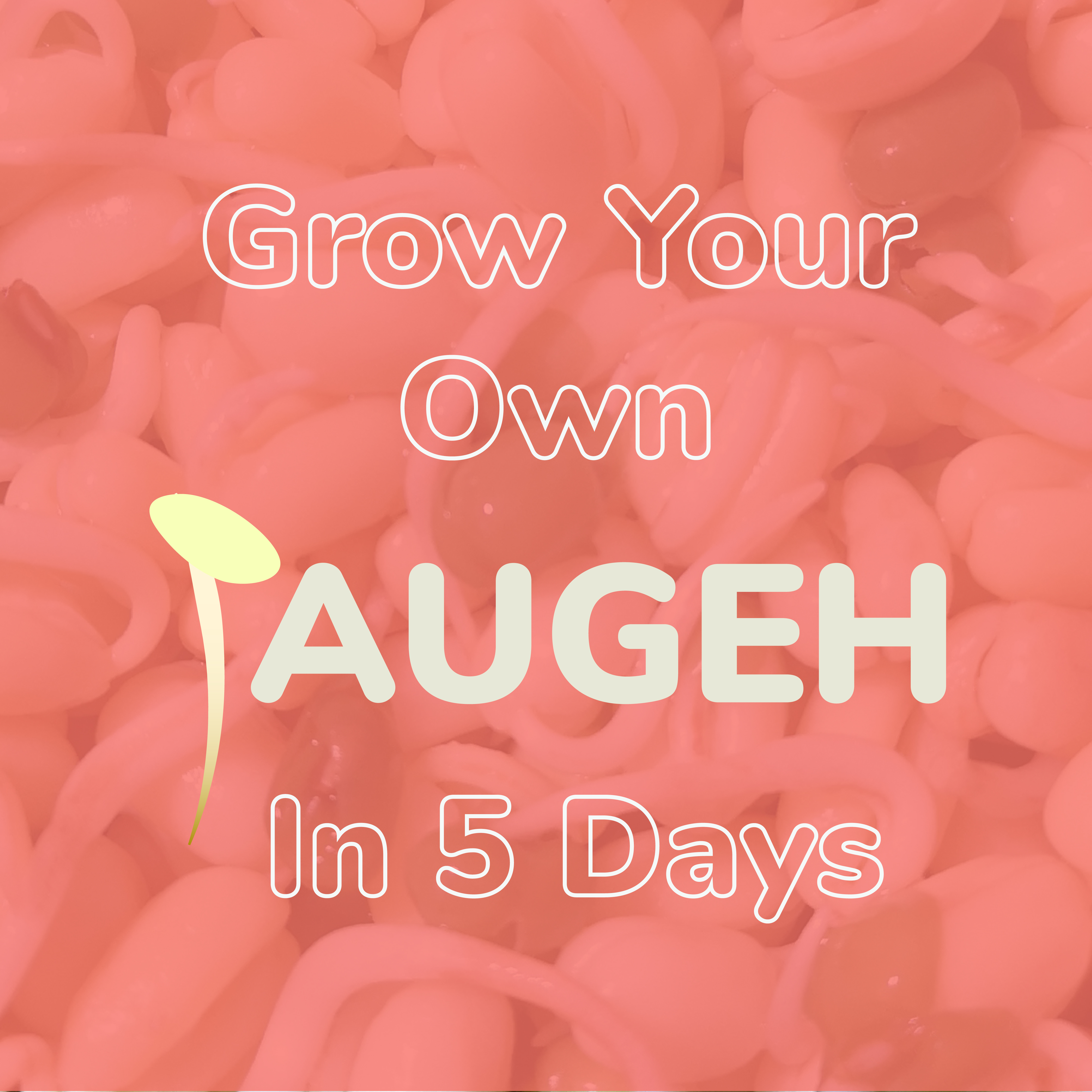 Grow your own taugeh in 5 days